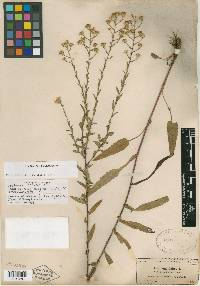 Image of Aster proteus