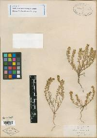 Image of Lepidium oreganum