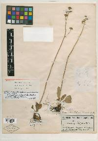 Image of Micranthes bidens