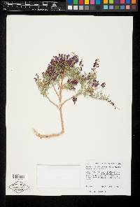 Psorothamnus thompsonae image