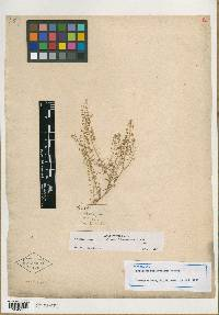 Image of Lepidium californicum