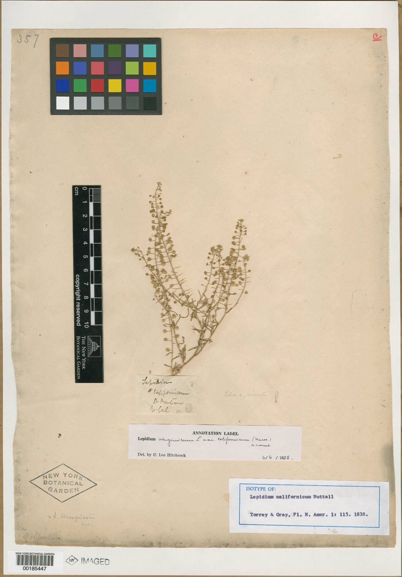 Lepidium californicum image