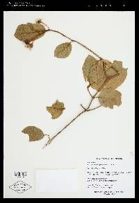 Image of Lycianthes gorgonea