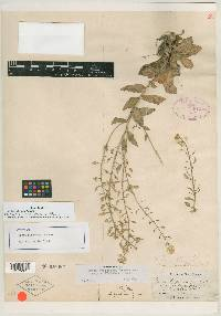 Image of Draba pinetorum