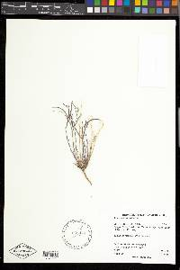 Arabis microphylla image
