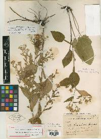 Image of Aster saundersii