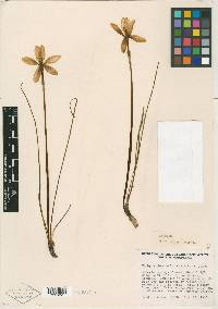 Image of Zephyranthes refugiensis