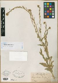 Image of Sisymbrium coulteri