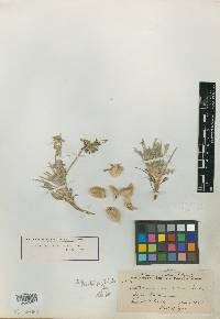 Image of Astragalus consectus