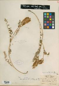 Image of Astragalus brevidens