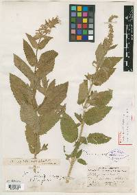 Image of Stachys teucriformis