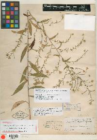 Image of Aster gravesii