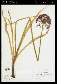 Image of Allium hollandicum