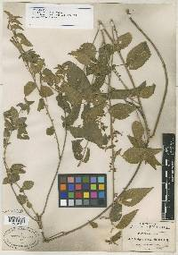 Acalypha dioica image
