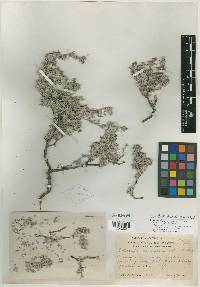 Tiquilia canescens image