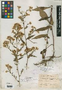 Image of Aster schistosus