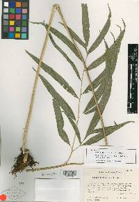 Image of Pteris chiapensis