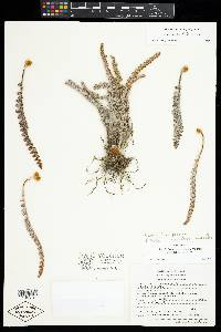 Image of Astrolepis obscura