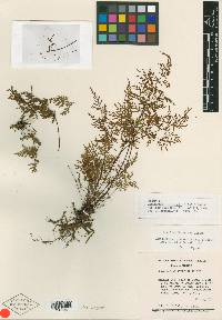 Image of Cheilanthes lerstenii