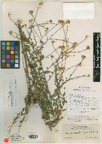 Image of Aster continuus