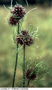 Image of Allium vineale
