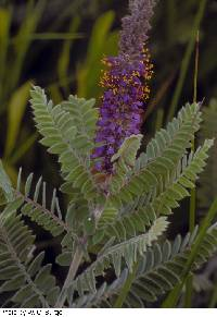 Image of Amorpha canescens