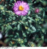 Image of Aster laevis