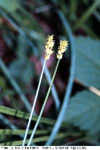 Image of Carex aggregata