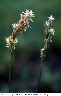 Image of Carex bicknellii