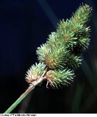Image of Carex cristatella