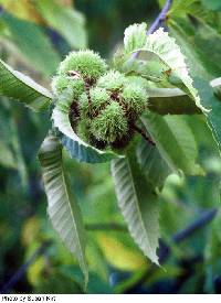 Image of Castanea dentata