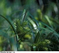 Image of Carex lupulina