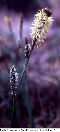 Image of Carex meadii