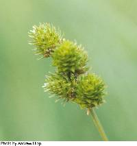 Image of Carex molesta