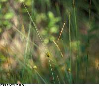 Image of Carex oligosperma