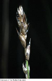 Image of Carex prairea
