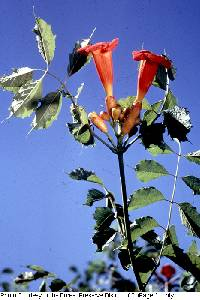 Image of Campsis radicans