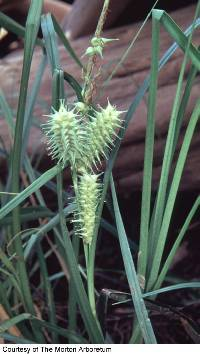 Image of Carex retrorsa