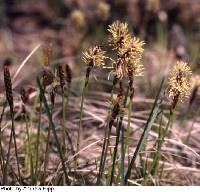 Image of Carex richardsonii