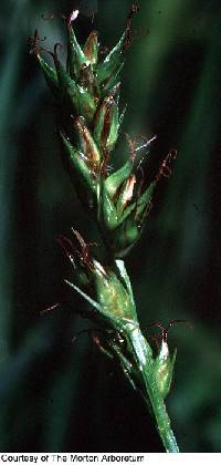 Image of Carex spicata