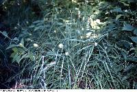 Image of Carex squarrosa