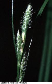 Image of Carex swanii
