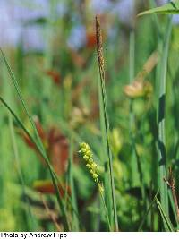 Image of Carex tetanica