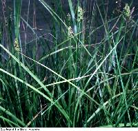 Image of Carex tribuloides