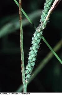 Image of Carex virescens