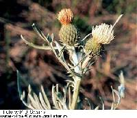 Image of Cirsium pitcheri