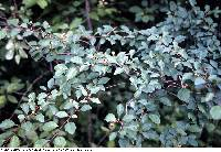 Image of Cotoneaster multiflora