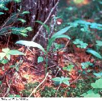 Cypripedium arietinum image