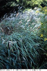 Image of Miscanthus sacchariflorus