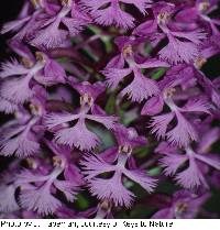 Image of Platanthera psycodes